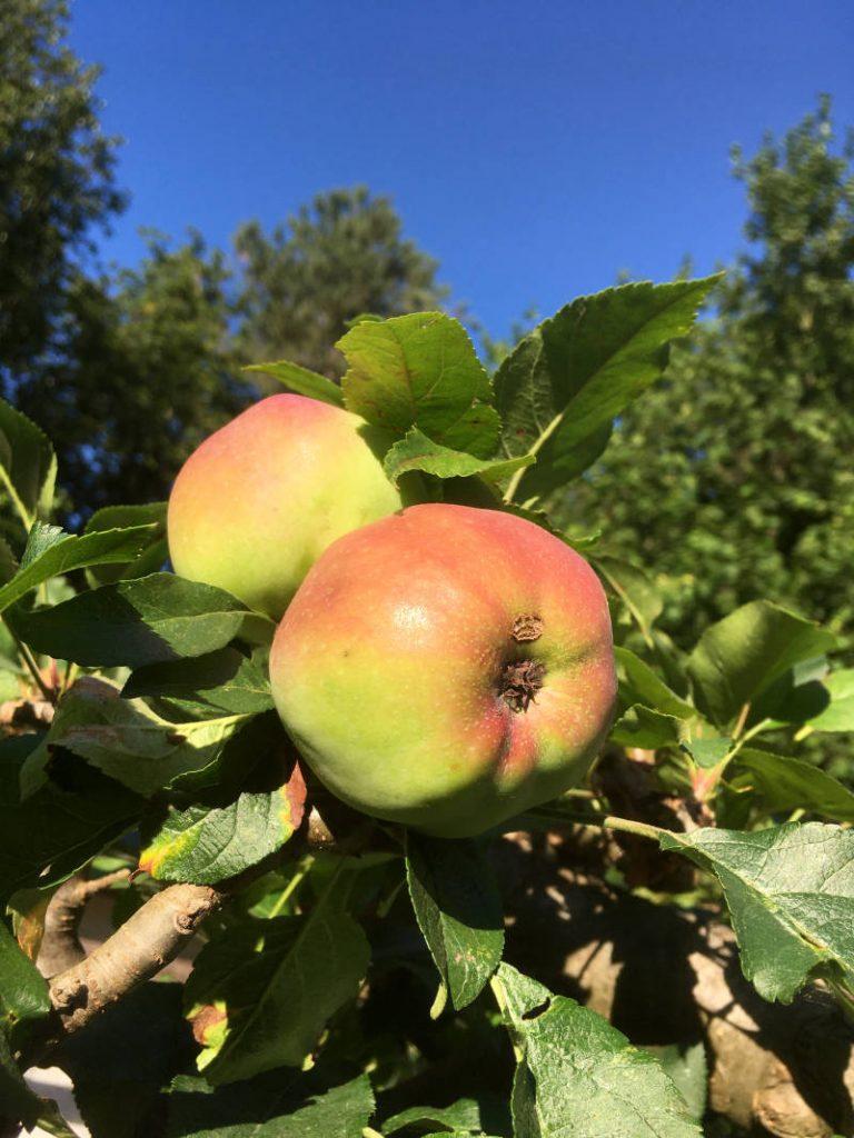 Obst anbauen im Garten