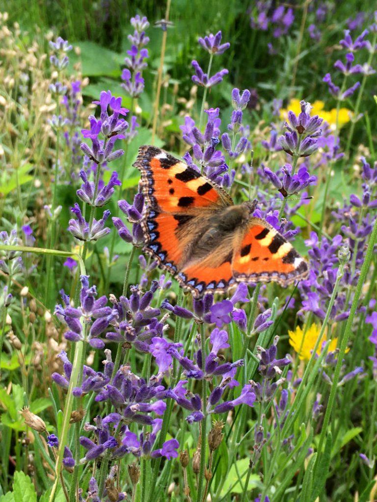 Schmetterling im Garten